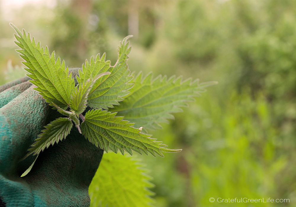 Foraging for and picking stinging nettles.