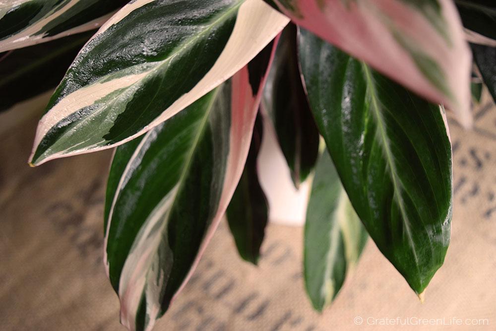 Stromanthe Sanguinea Triostar