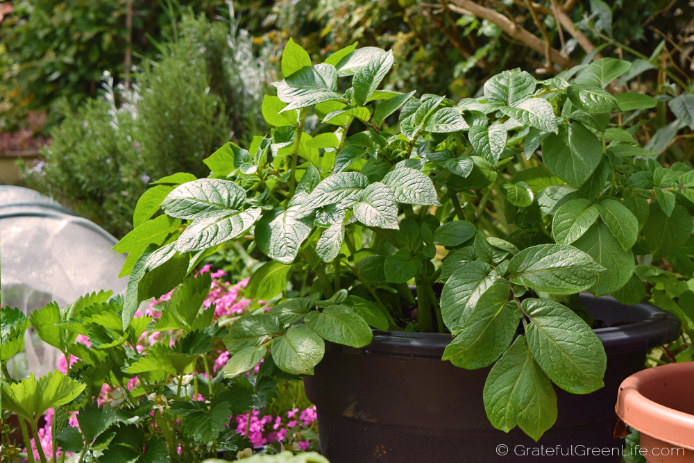 grow-your-own-food-in-pots